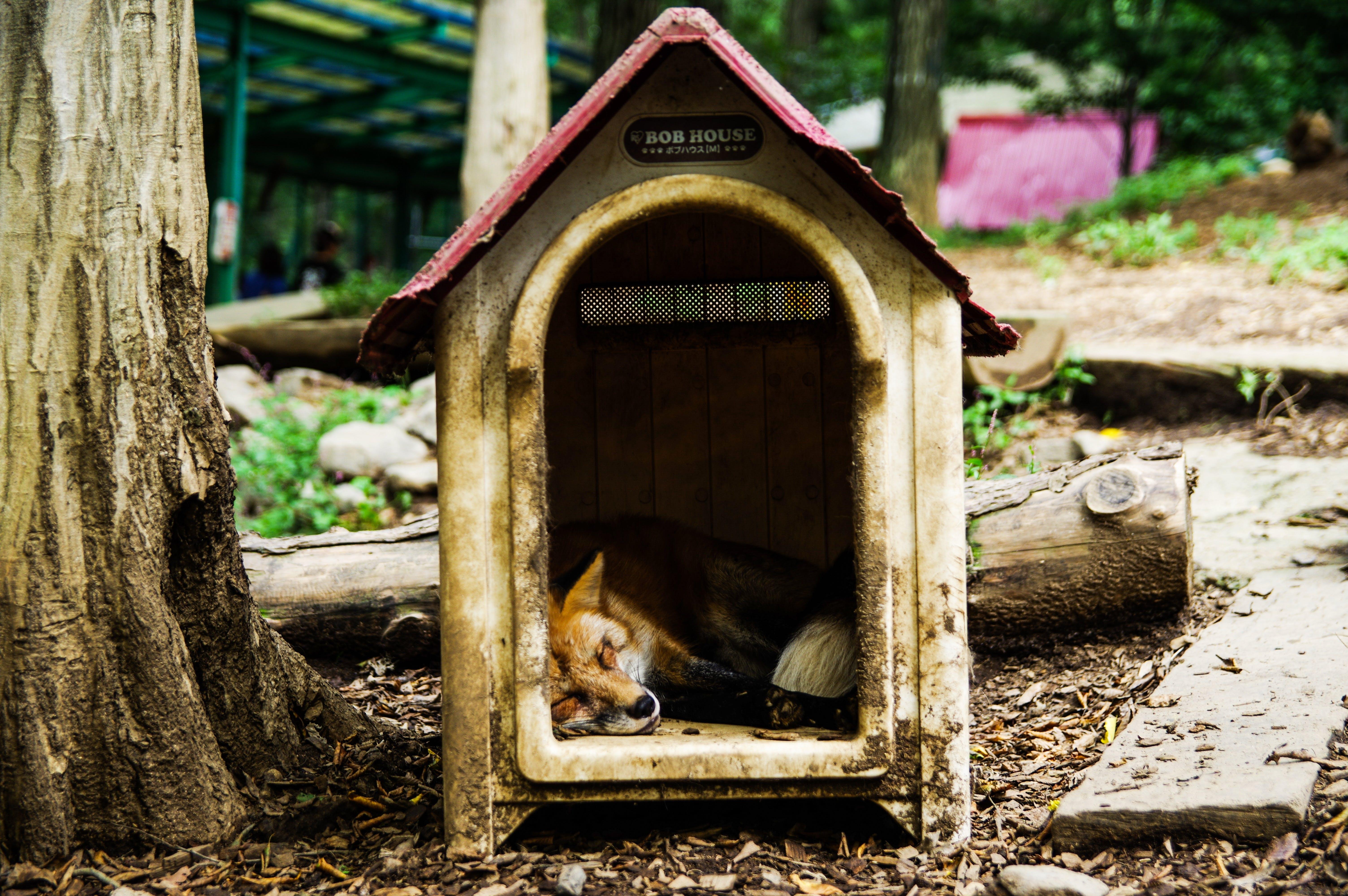 Free stock photo of animal, cute, fox, sleep