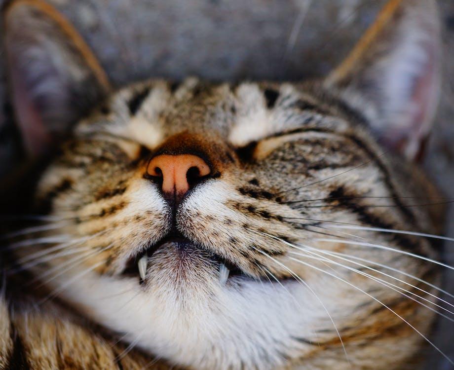 великий план, вуса, кішка