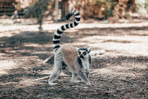 Shallow Focus Photo of Lemur Walking on Ground