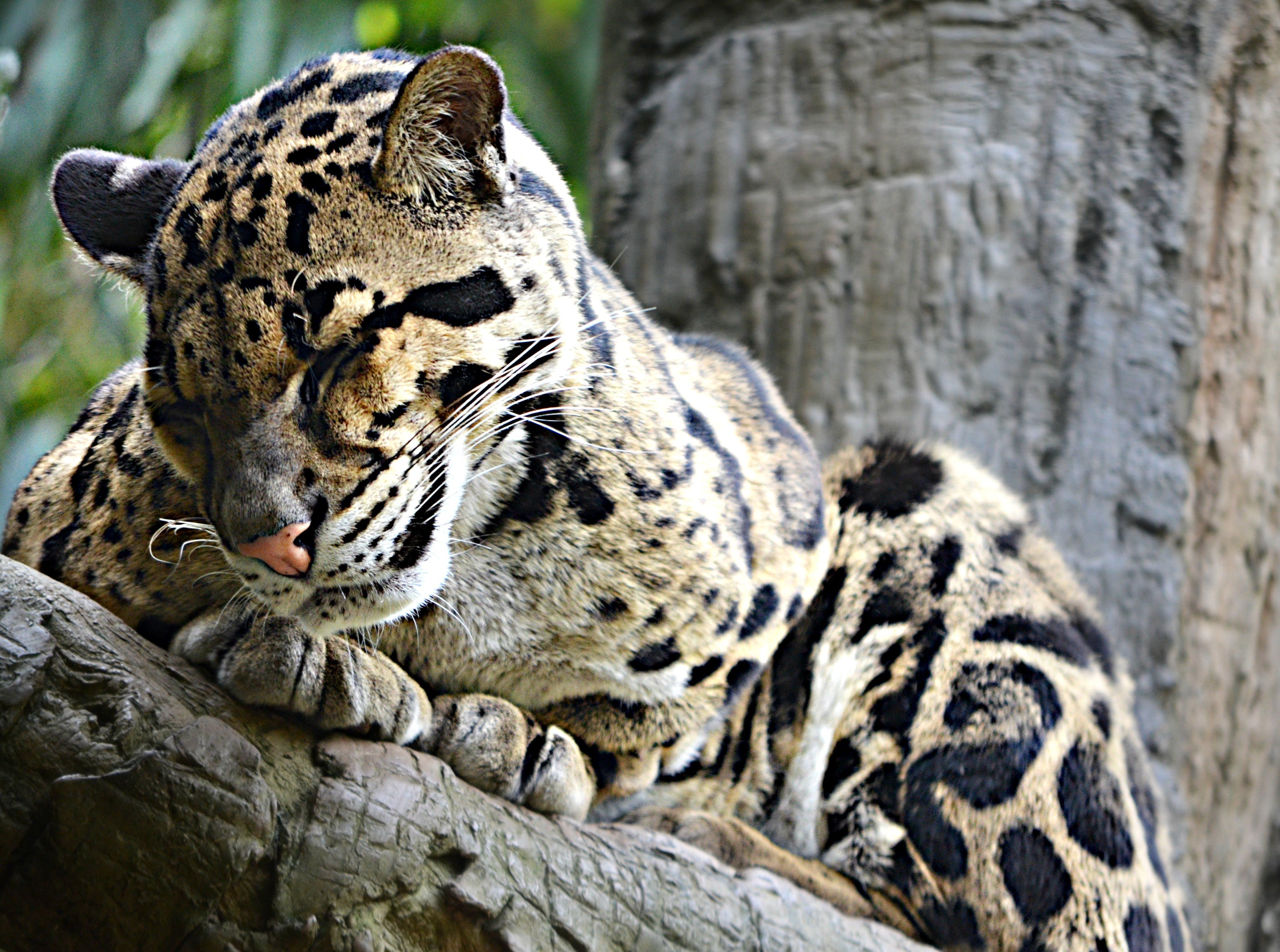Free stock photo of animal, carnivore, cat, cute