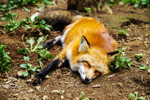 Red Fox Lying on Ground