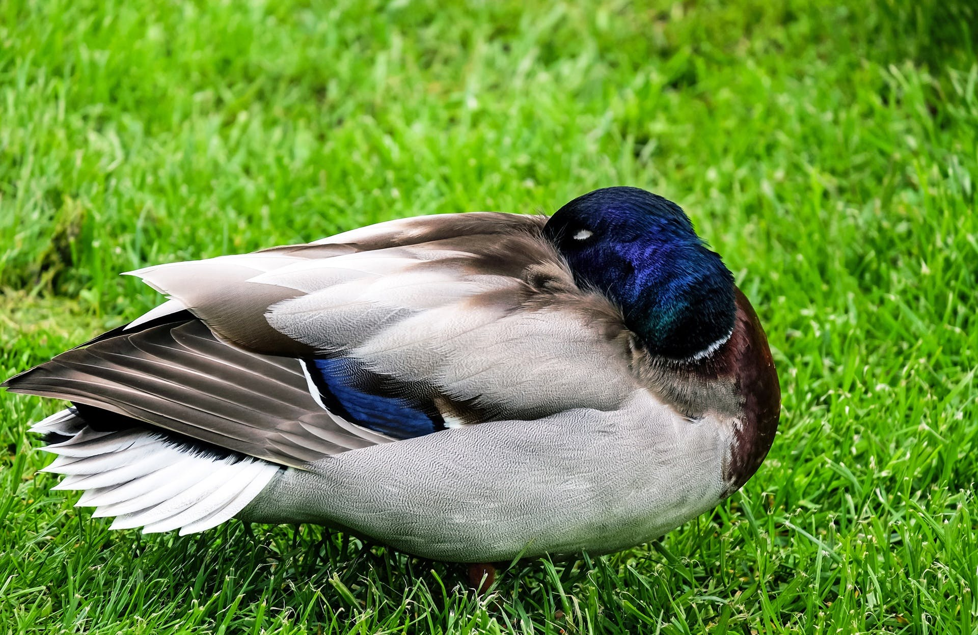 White and Blue Pigeon on Grass Field