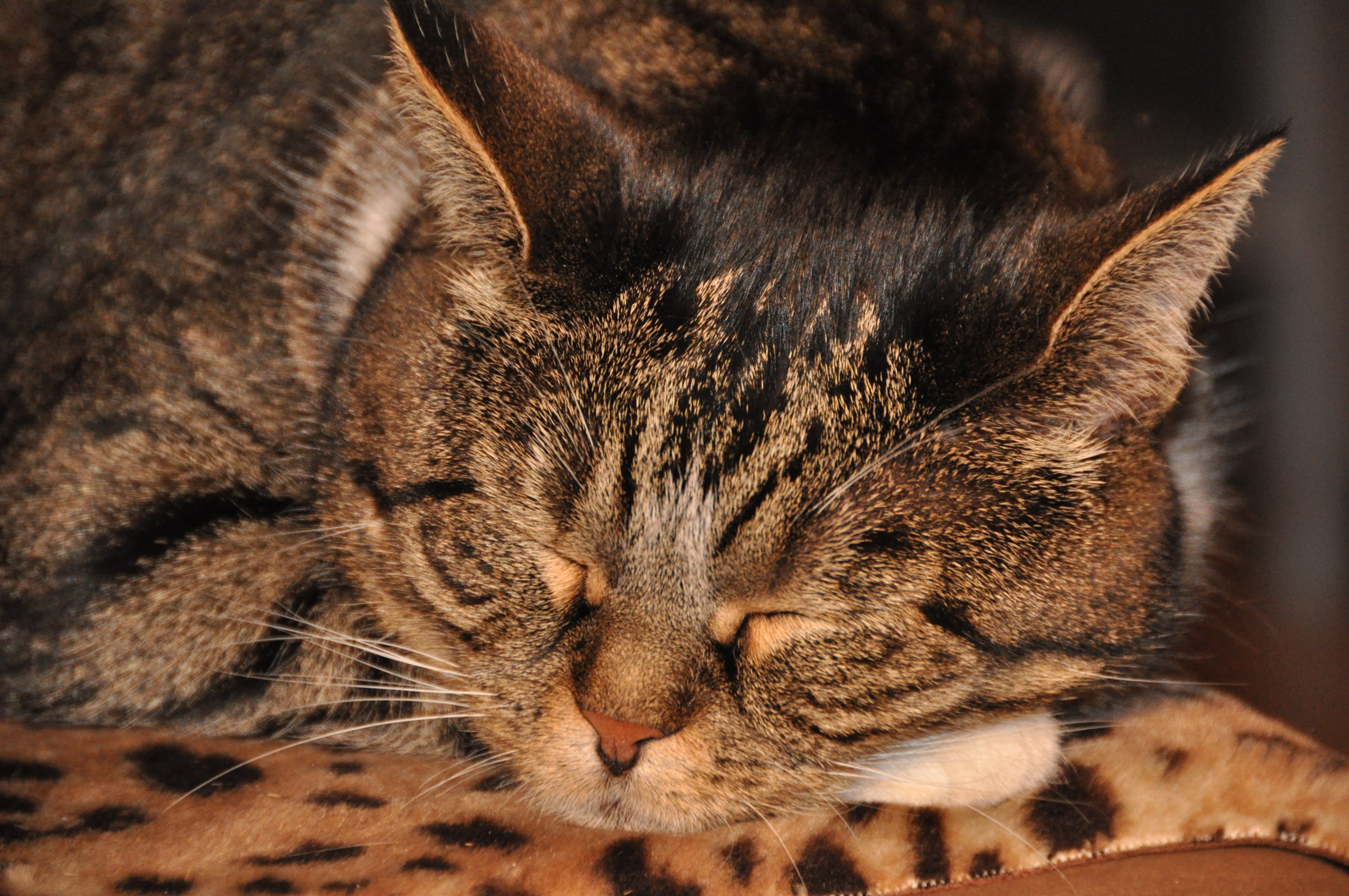 Tubby Cat Sleeping on Brown Surface