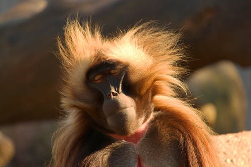 Bleeding heart baboon at bright sunny day