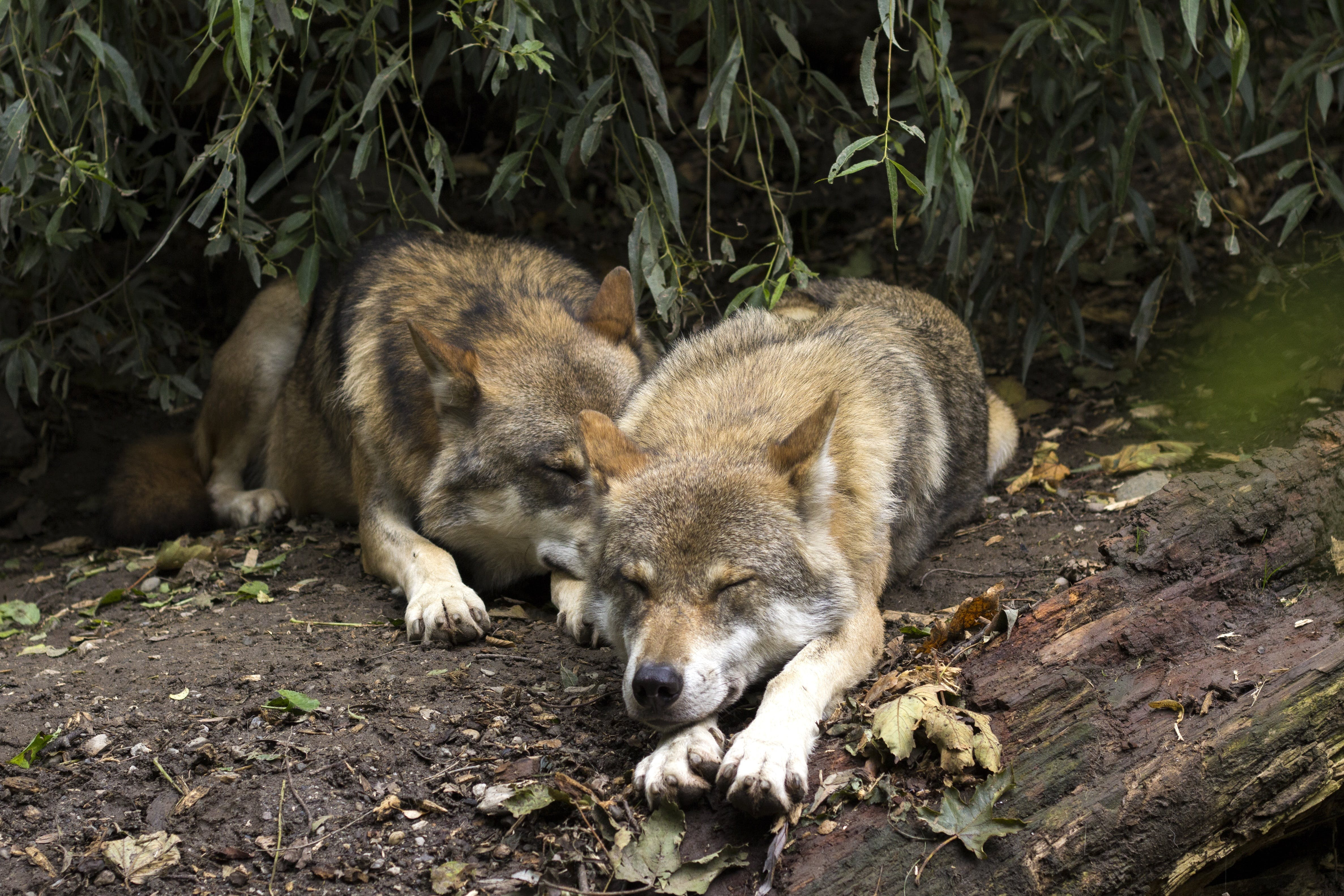 Free stock photo of canis lupus, dormant, european wolf, lazy