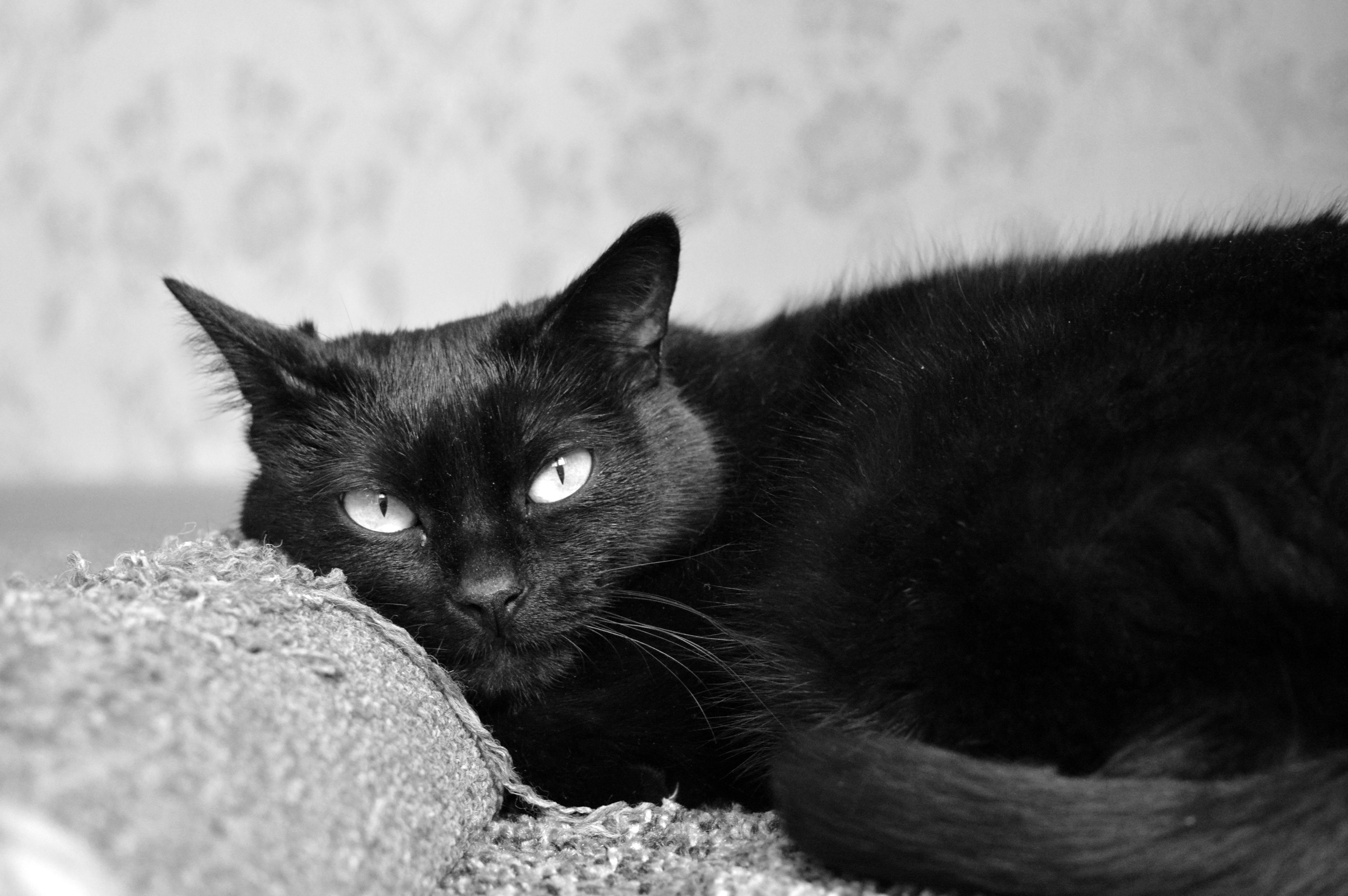 Zdarma mladé černé kočička obrázky