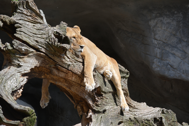 Free stock photo of animal, zoo, cat, rest