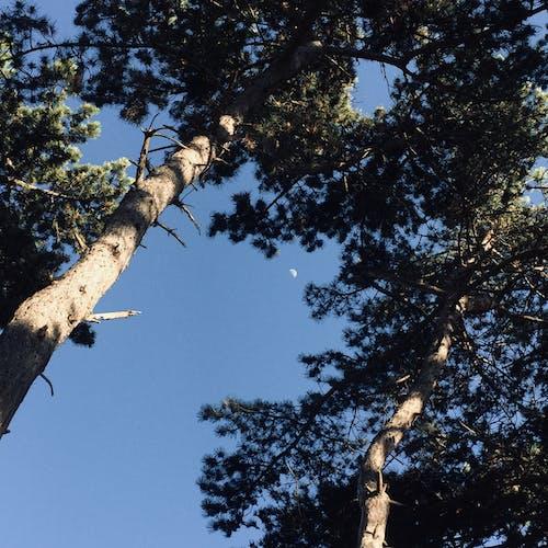 月亮, 森林, 簡約, 藍天 的 免費圖庫相片