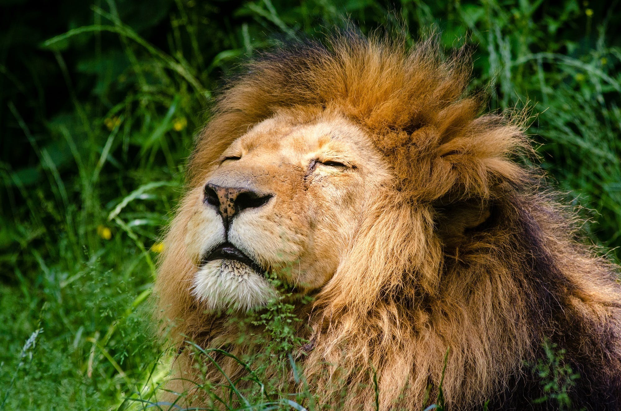 Free stock photo of african lion, big cat, carnivore, face