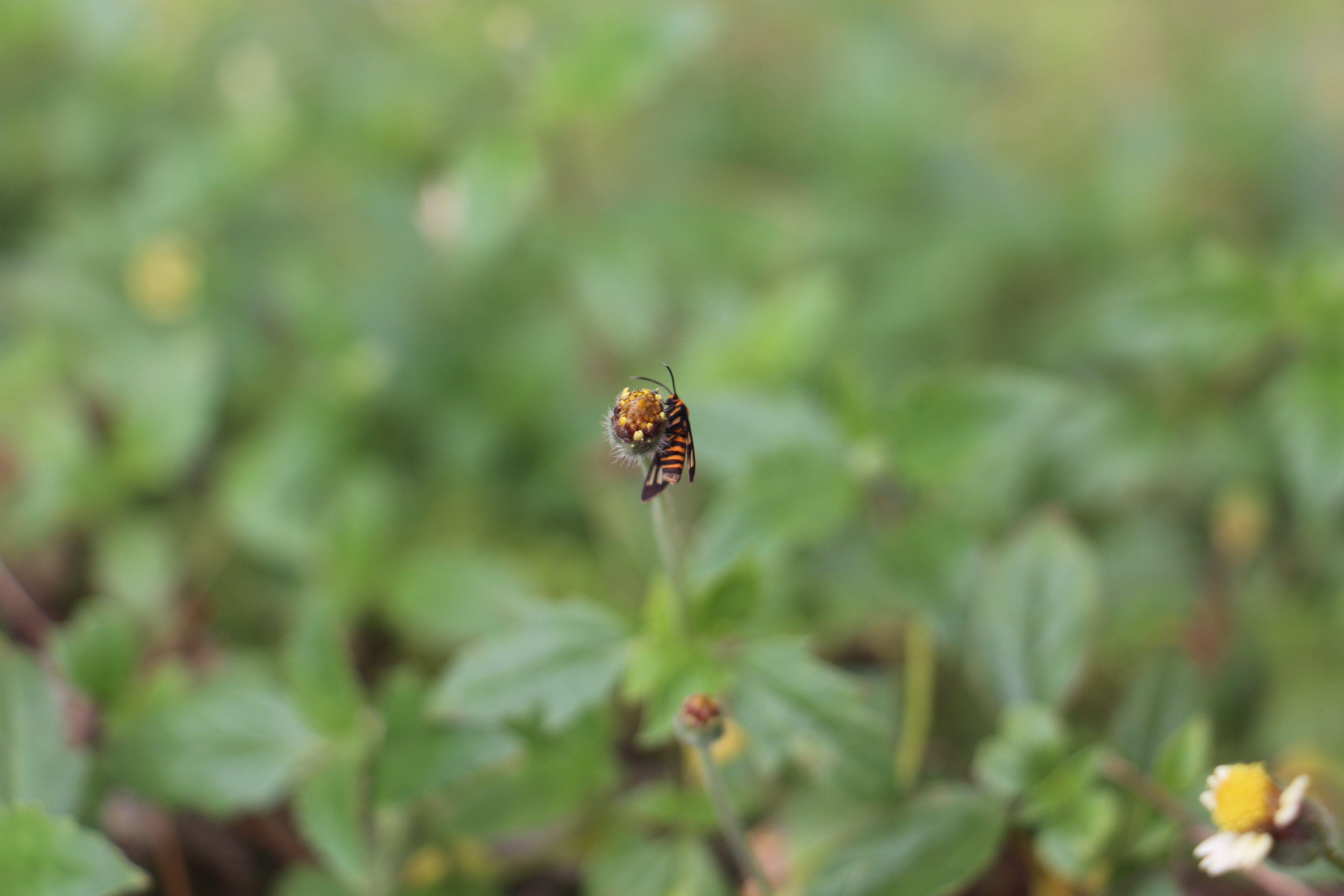 Free stock photo of bee, bug, flower, insect