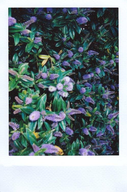Fotobanka sbezplatnými fotkami na tému exteriéry, fialová, flóra, jemný