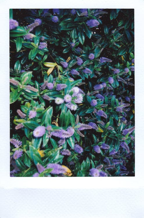 Bed of Lilac Flowers