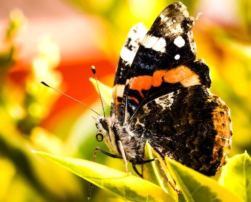 Ảnh lưu trữ miễn phí về ảnh macro, bướm, bướm trên hoa, chụp ảnh động vật