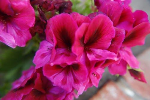 Ảnh lưu trữ miễn phí về hoa, hoa màu hồng rực rỡ, những bông hoa màu hồng, những bông hoa đẹp