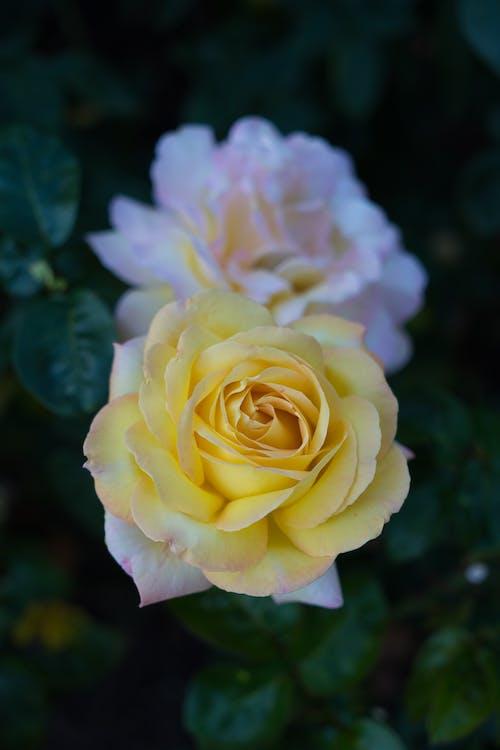 Aşk, Bahçe, Barış, beyaz içeren Ücretsiz stok fotoğraf