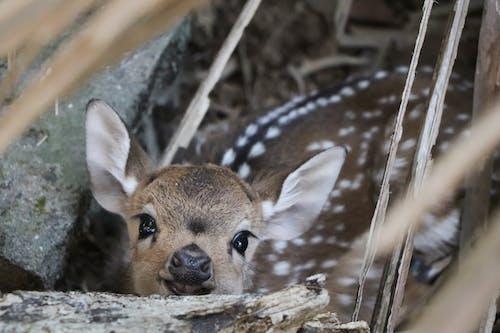 Fotobanka sbezplatnými fotkami na tému jeleň, roztomilé zvieratá, sŕňa, zviera