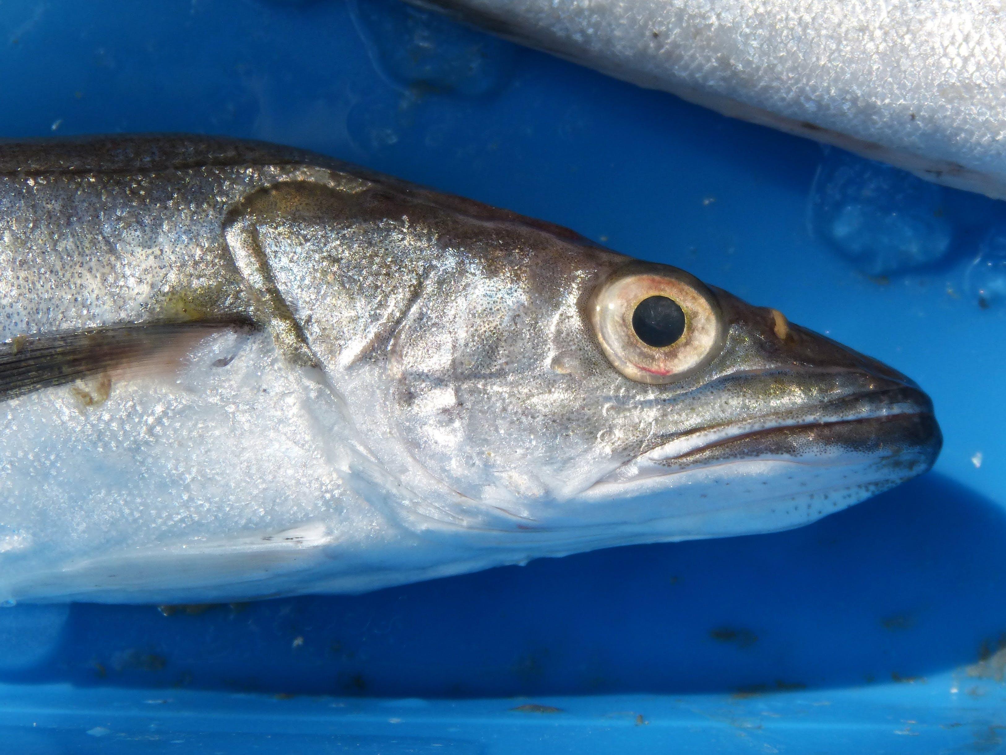 Free stock photo of fresh fish, hake, whiting, llucet