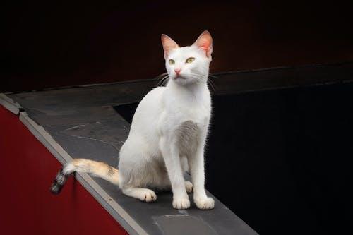 Gratis stockfoto met witte kat