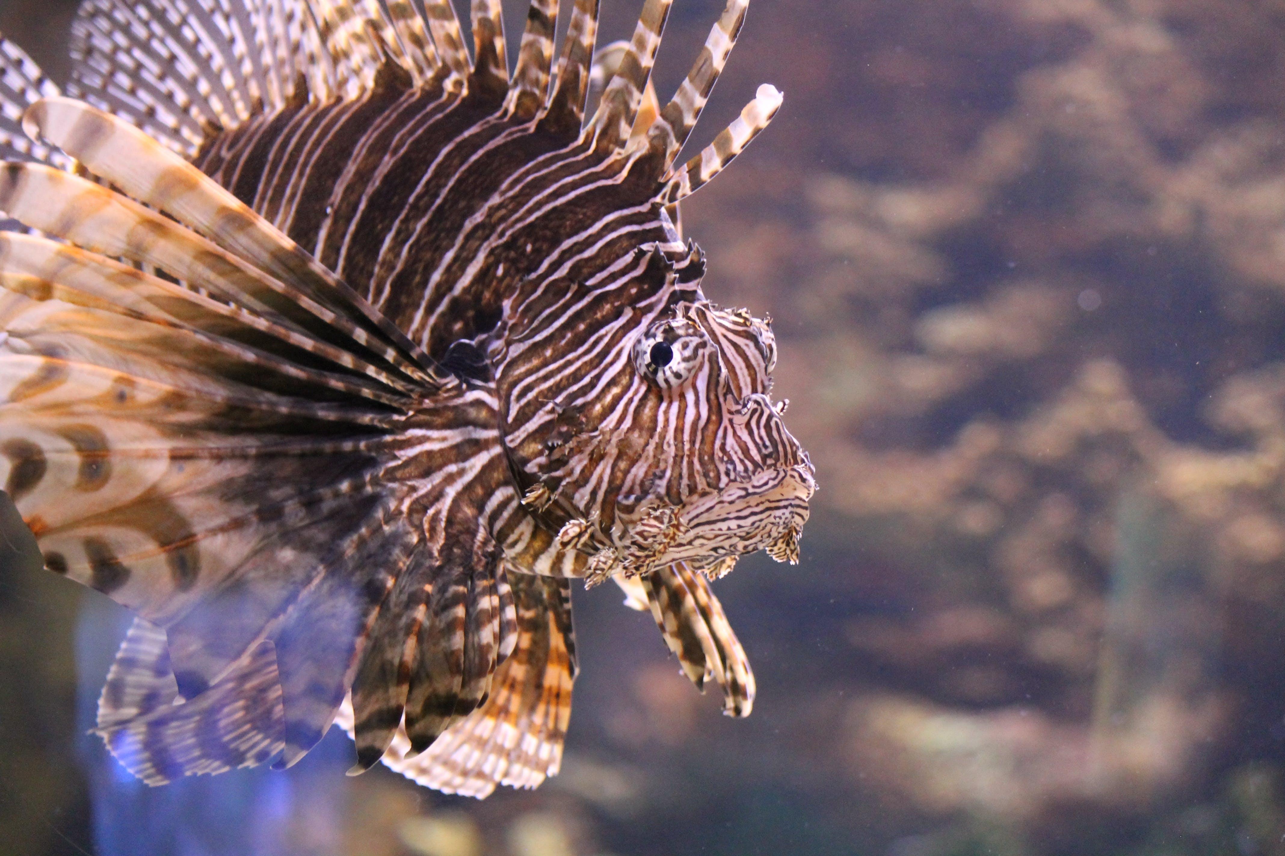 Free stock photo of water, fish, aquarium, lionfish