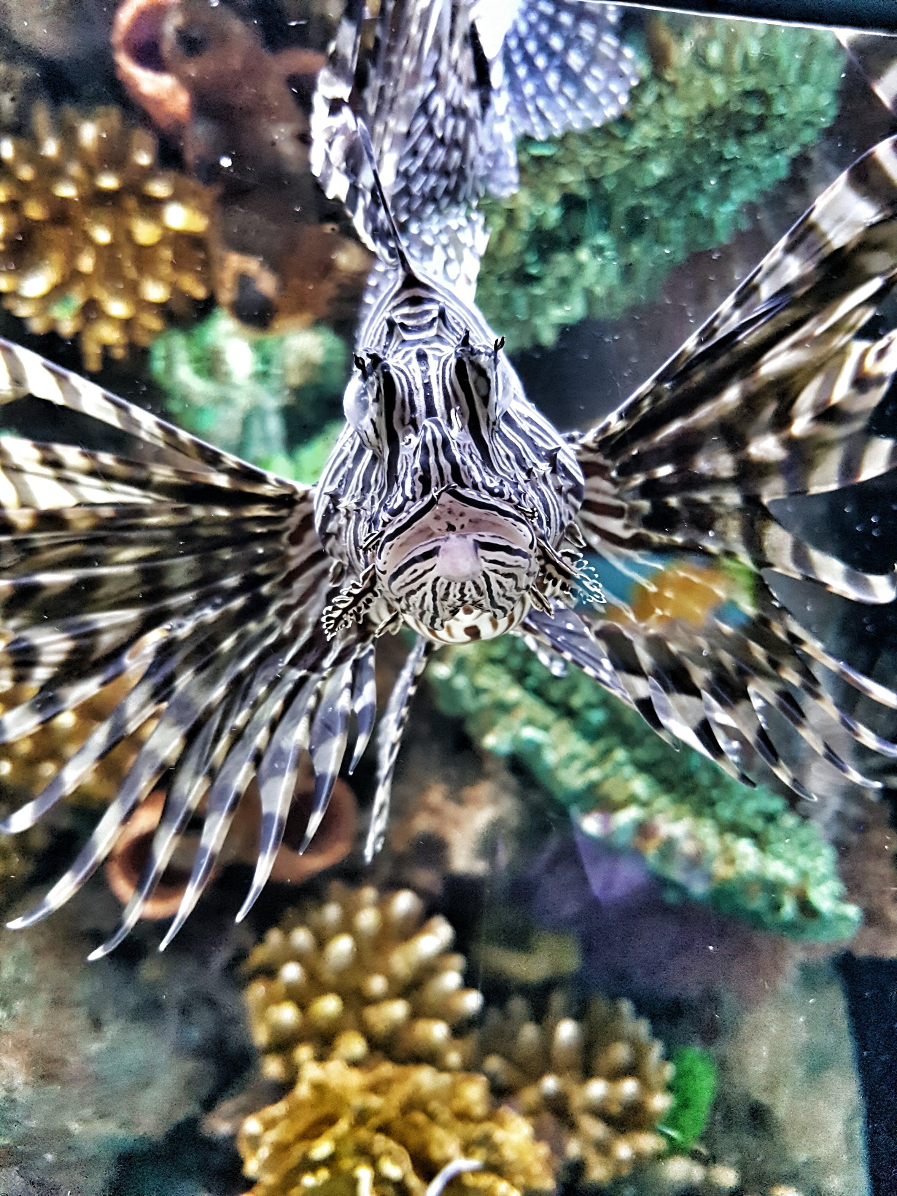 Free stock photo of animal, lionfish, nature, poisonous