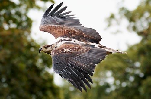 Foto d'estoc gratuïta de ales, animal, caçador, caçant