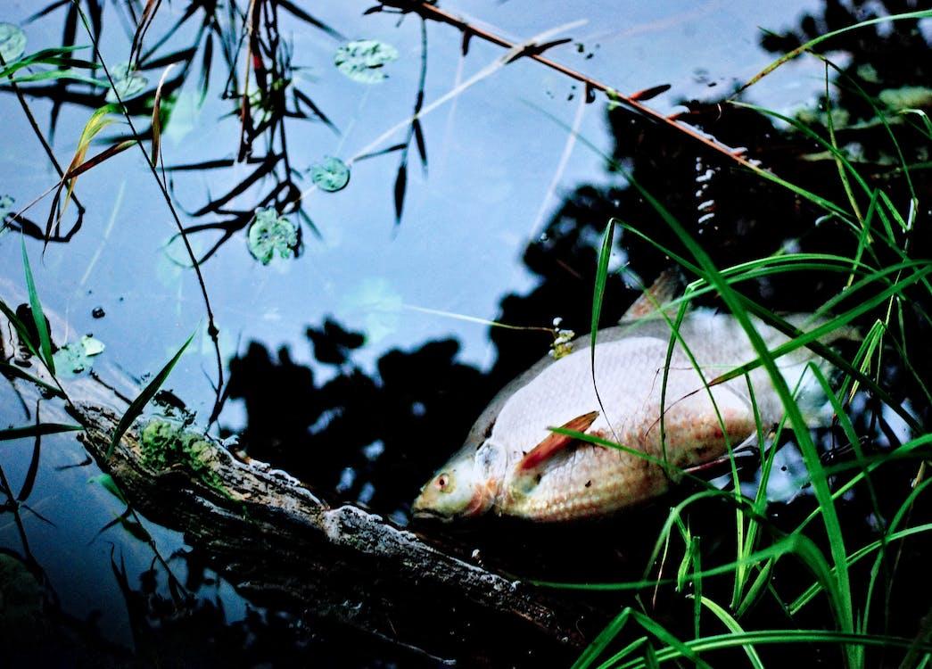 中毒環境, 有毒的, 死魚