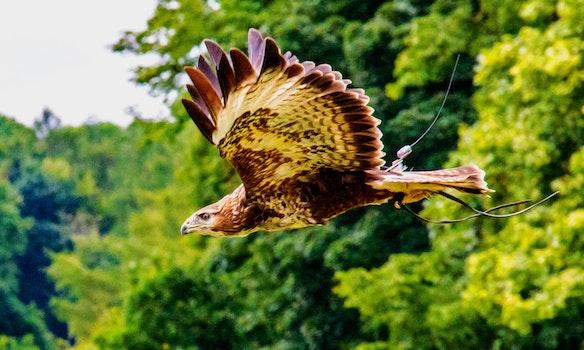 Kostenloses Stock Foto zu natur, vogel, adler, flügel