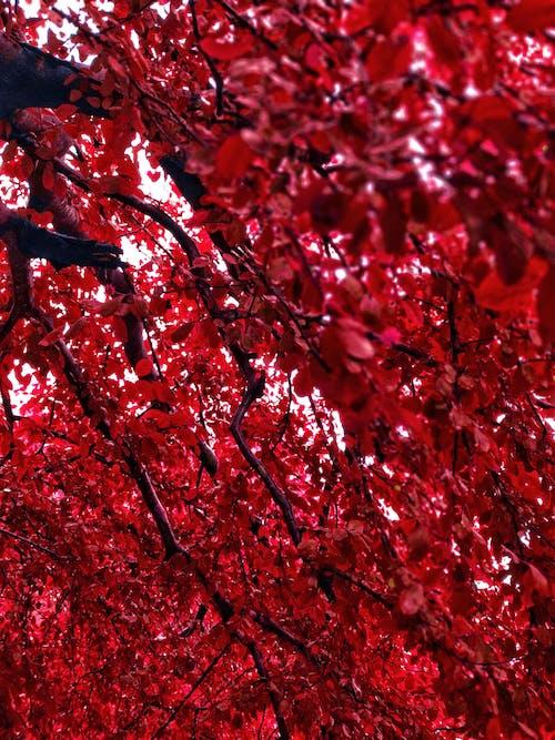 樹葉, 秋葉, 紅色 的 免費圖庫相片