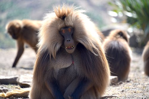 Free stock photo of monkey mountain galaga ethiopia