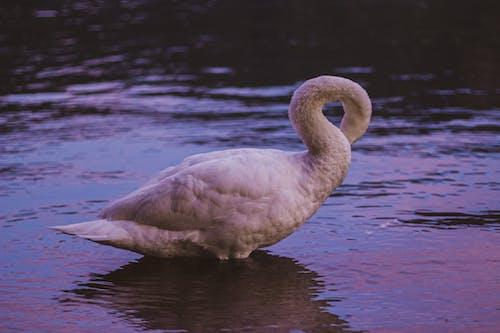 天鵝, 湖, 白天鵝 的 免费素材照片