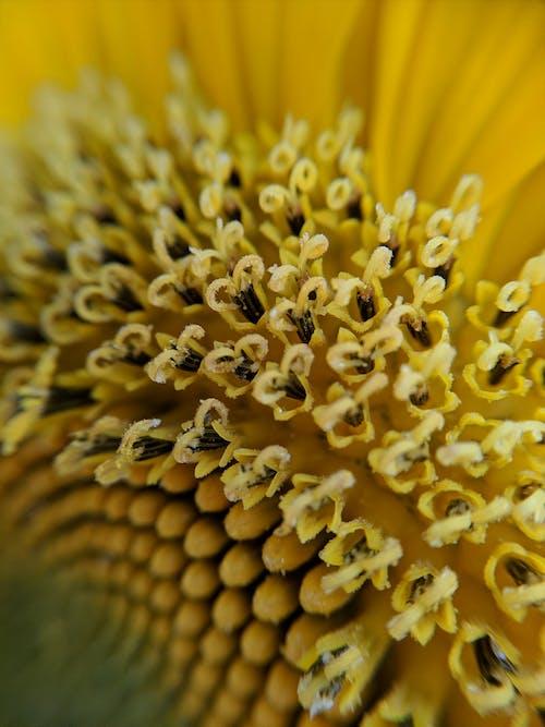 Ảnh lưu trữ miễn phí về ảnh macro, cận cảnh, hạt giống, hạt giống hoa hướng dương