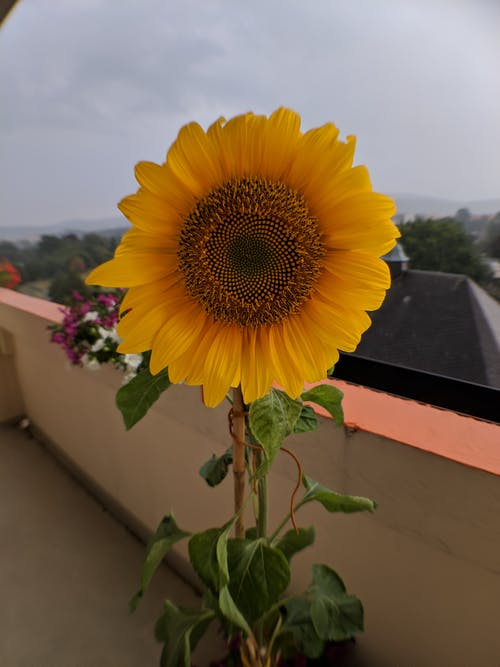 Ảnh lưu trữ miễn phí về cánh đồng hoa hướng dương, cây, hạt giống hoa hướng dương, hoa