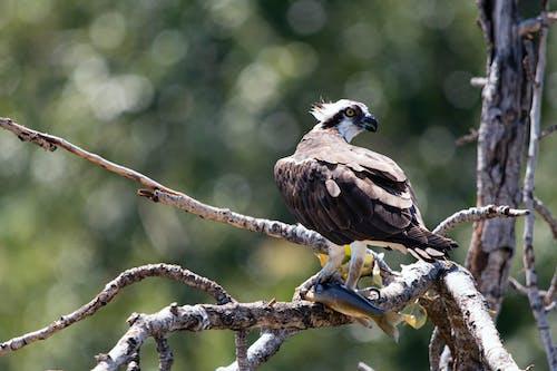 Fotos de stock gratuitas de águila pescadora, ave rapaz, pájaro, peces