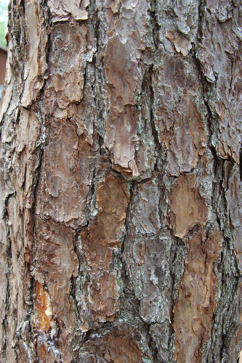 Free stock photo of artistic background, pine tree