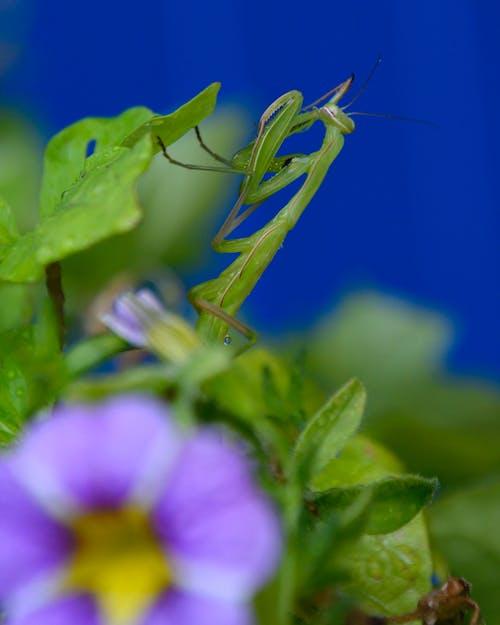 Imagine de stoc gratuită din insectă, manty preying