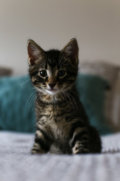 Free stock photo of cat, kitten