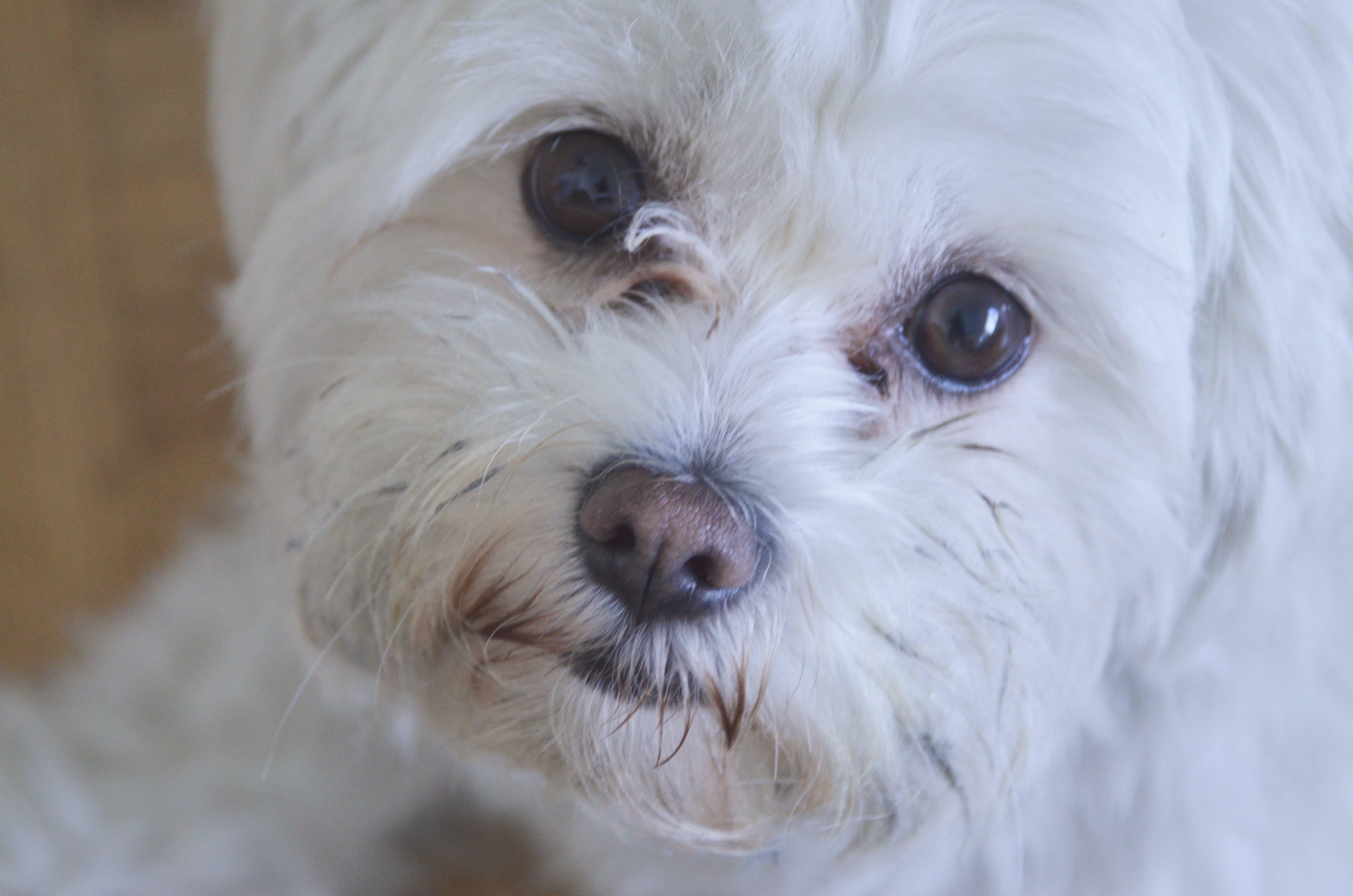 Free stock photo of closeup, cute, dog, dog eyes