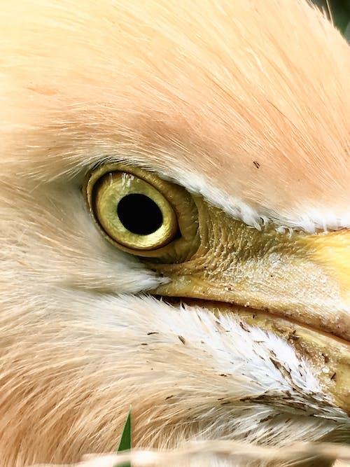 Photos gratuites de beaux yeux, couronne, fourrure, oiseau