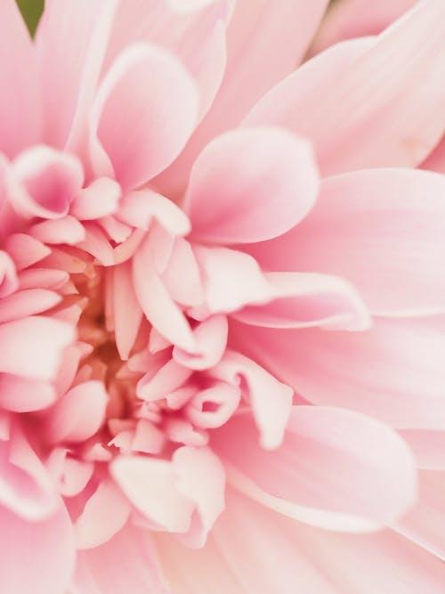 ピンク, マクロ, 単純な, 咲くの無料の写真素材