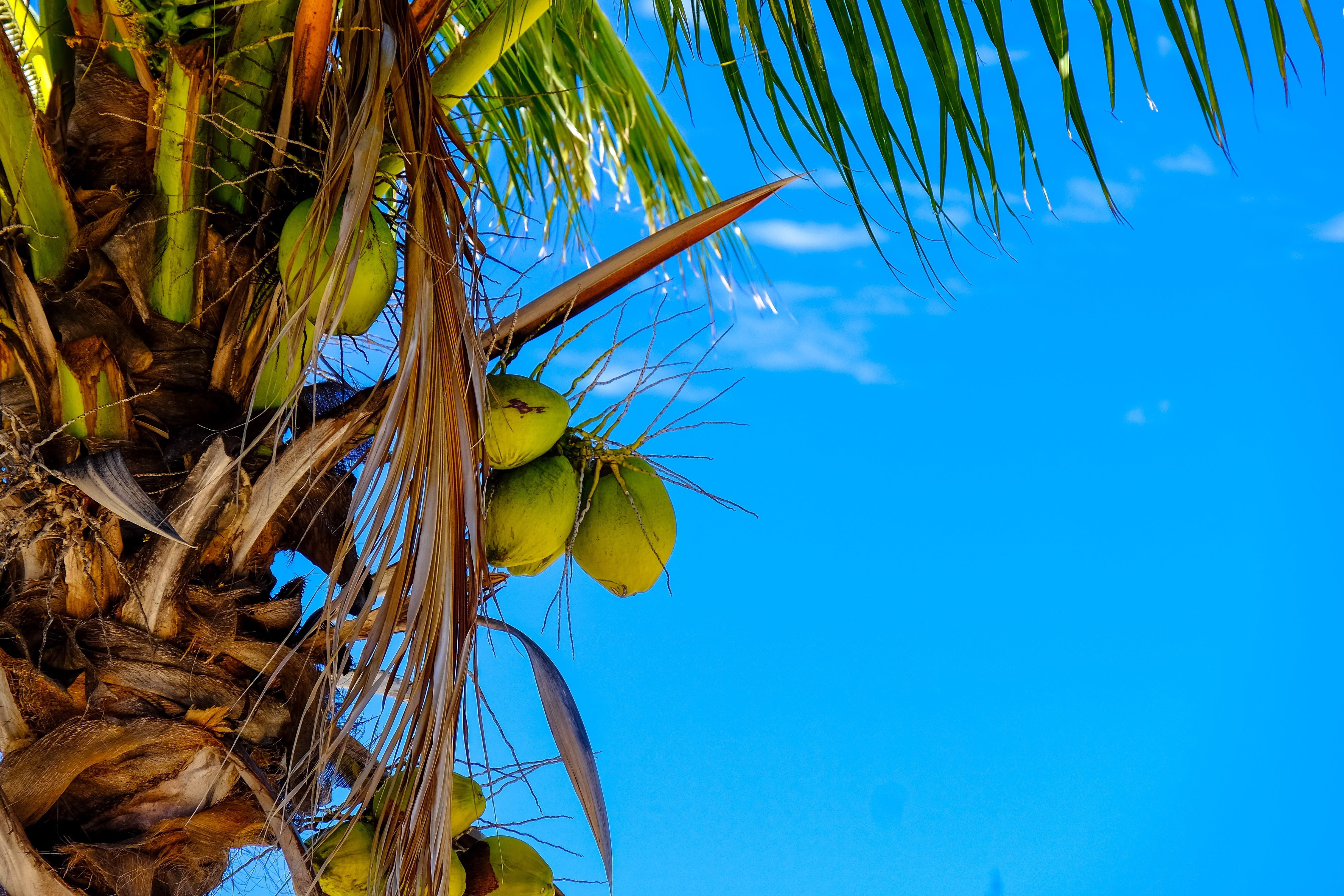 Coconut Tree With Coconuts