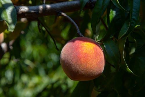 คลังภาพถ่ายฟรี ของ agbiopix, การเกษตร, ต้นไม้, ผลไม้