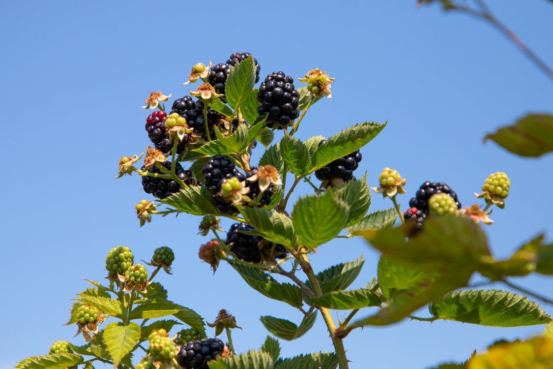 agbiopix, blackberries, blackberry telefoons
