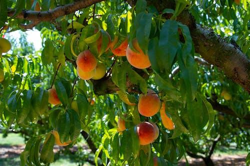 คลังภาพถ่ายฟรี ของ agbiopix, การเกษตร, ของหวาน, ต้นไม้