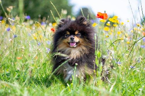 可爱的动物, 波美拉尼亚, 狗 的 免费素材照片