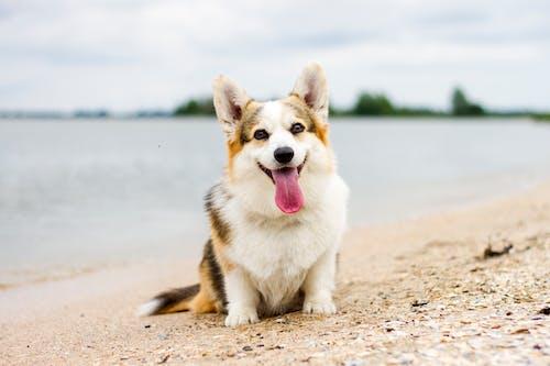 可爱的狗, 威尔士科基犬, 柯基犬, 狗 的 免费素材照片