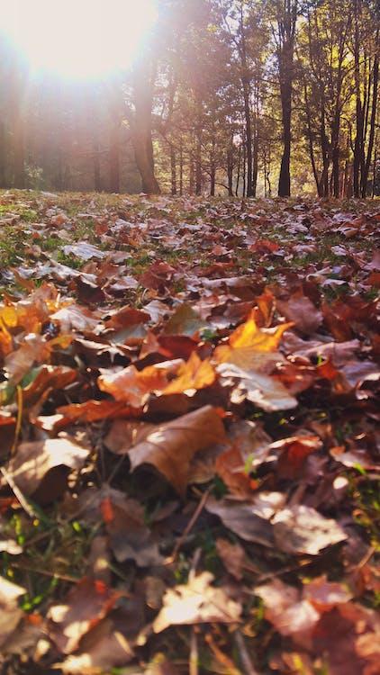 Maple Leaf Lot