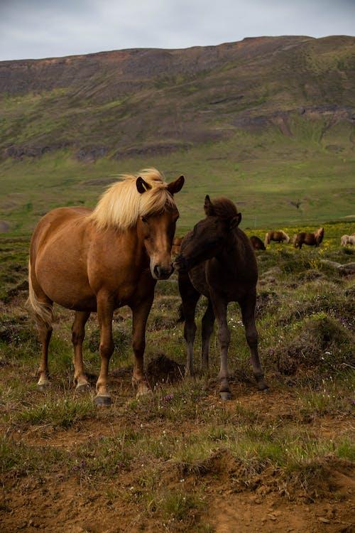 Foto stok gratis kepala kuda, kuda, rumput, tanah rumput