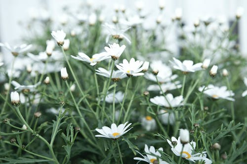 White Daisy Flowers Field