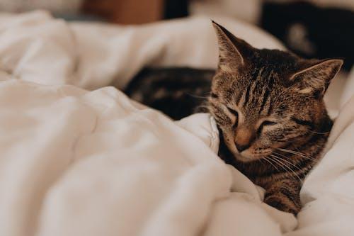 Immagine gratuita di animale, gatto, mammifero