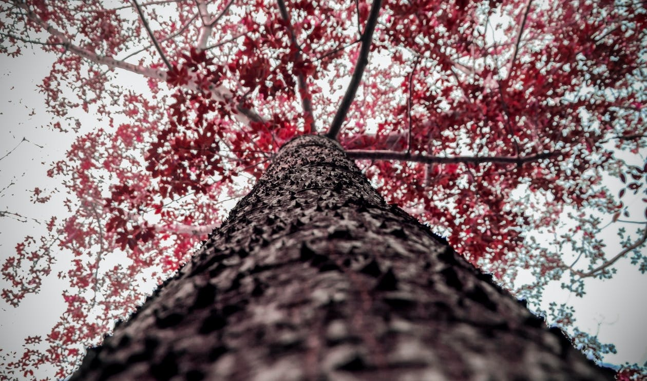 Brown and Red Tree Low-angle Photography